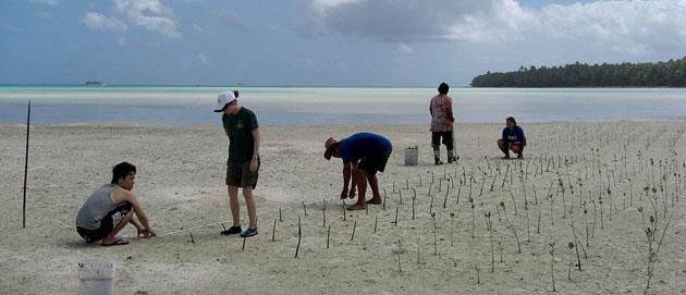 ツバルのマングローブ植林の様子